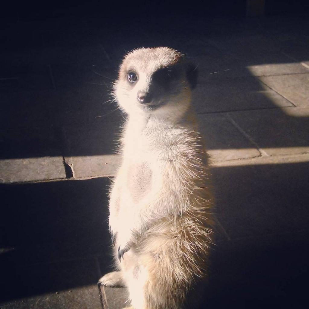 Carlos, la suricata del White Lady Lodge