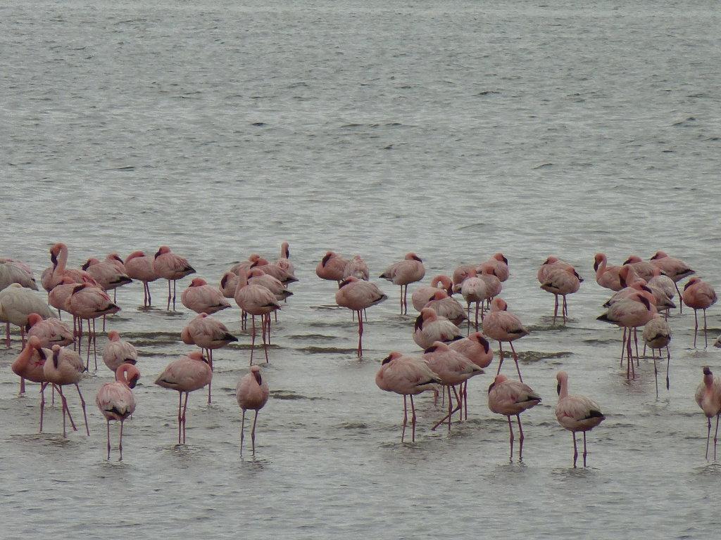 Flamencos en Walvis Bay